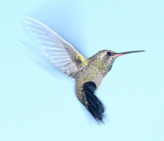 hummingbird_algorithm